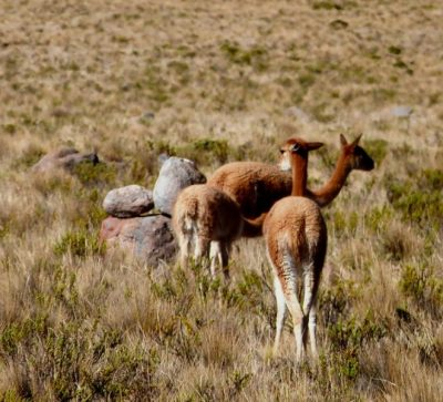 Singlereise Peru - Alpakas Arequipa