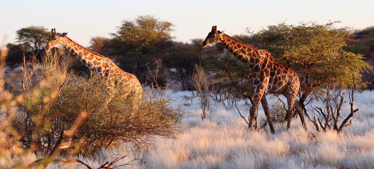 Singlereise Namibia - Giraffen beim Sonnenuntergang