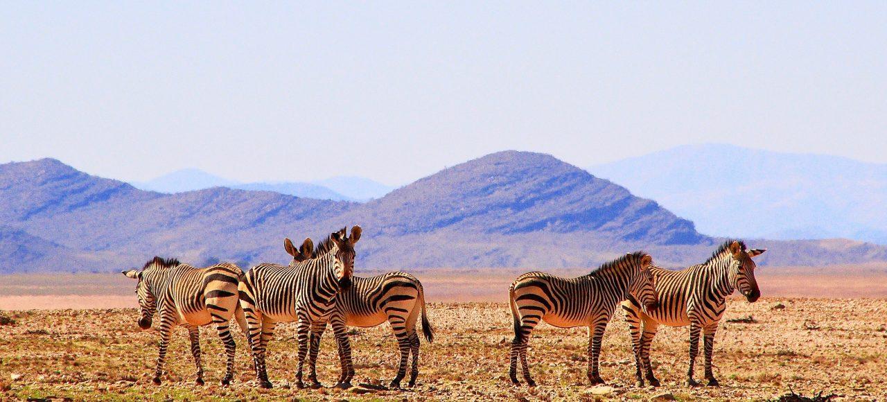 Singlereise Namibia - Zebraherde