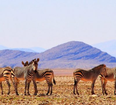 Singlereise Namibia - wilde Zebraherde