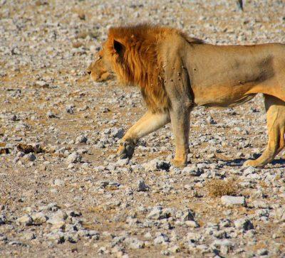Singlereise Namibia - Löwe