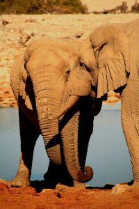 Singlereise Namibia - Elefantenpärchen