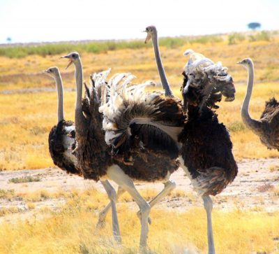 Singlereise Namibia - Namibische Strauße