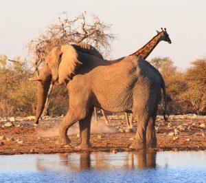Singlereise Namibia - Elefant und Giraffe