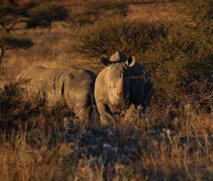 Singlereise Namibia - Breitmaulnashörner
