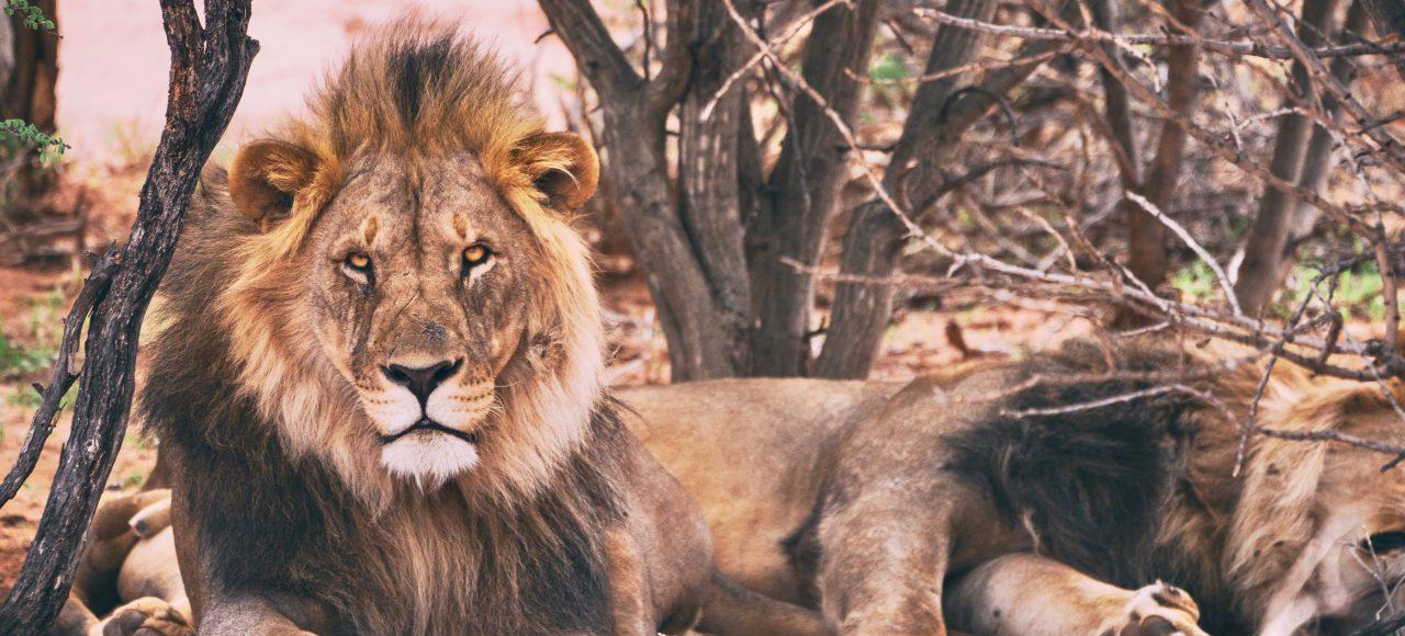 Singlereise Namibia - Braunlöwen
