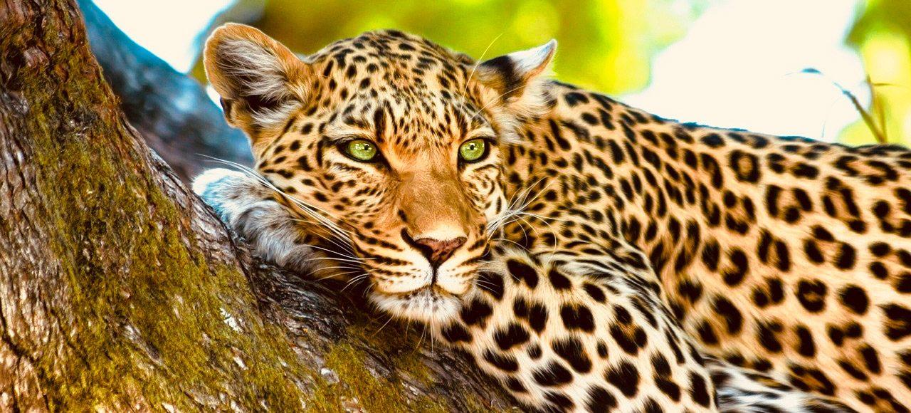 Singlereise Namibia -Botswana-Zimbabwe - Leopard